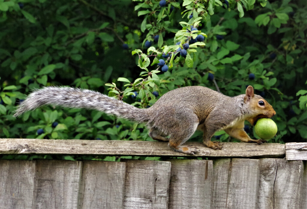 Wild Grey Squirrel On the Run with a Crab Apple in an English Garden