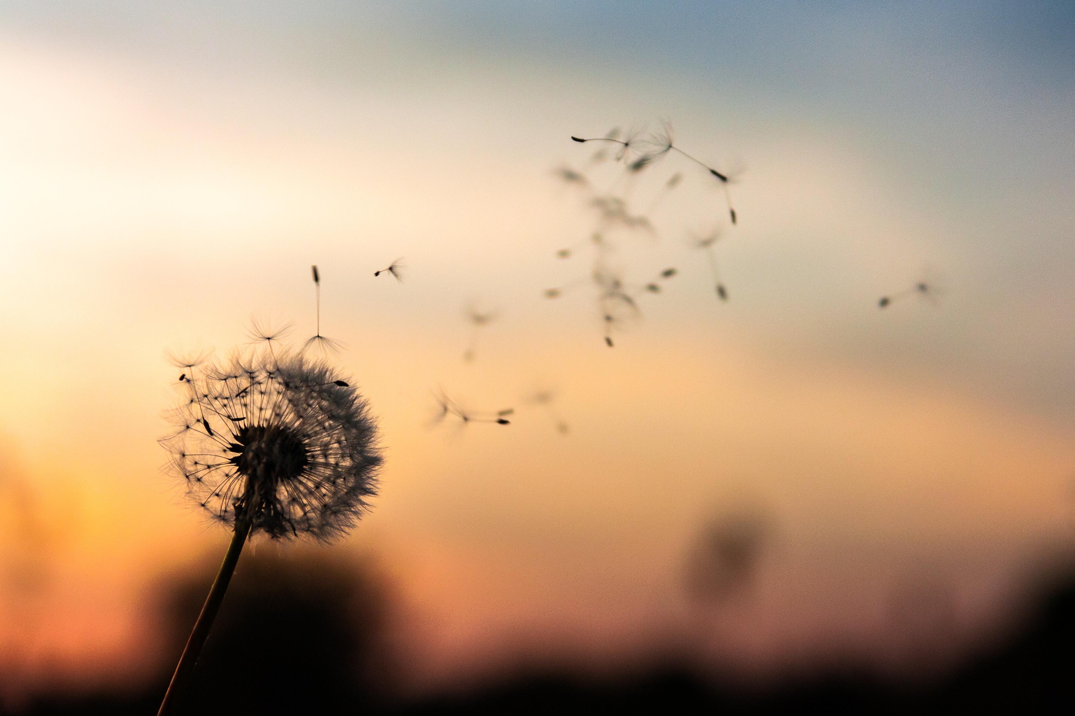Dandelion flying